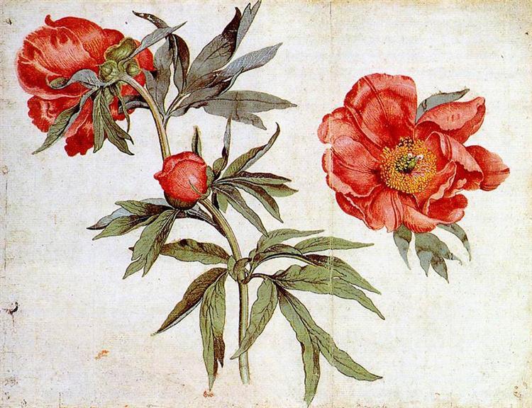 Renaissance Nordique Etudes des Pivoines de Martin Schongauer est une Aquarelle de 33.4 x 25.4 cm datant de 1472 ©WikiArt